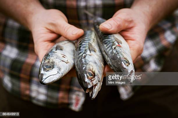 close up of a chef holding a three fresh mackerel in his hands. - mackerel stock pictures, royalty-free photos & images
