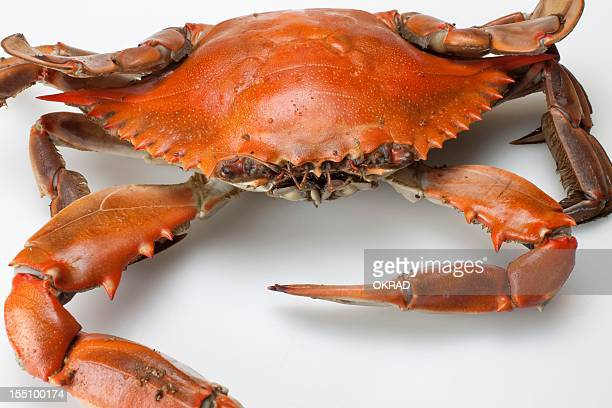 Close up of a Chesapeake Bay Blue Crab Cooked