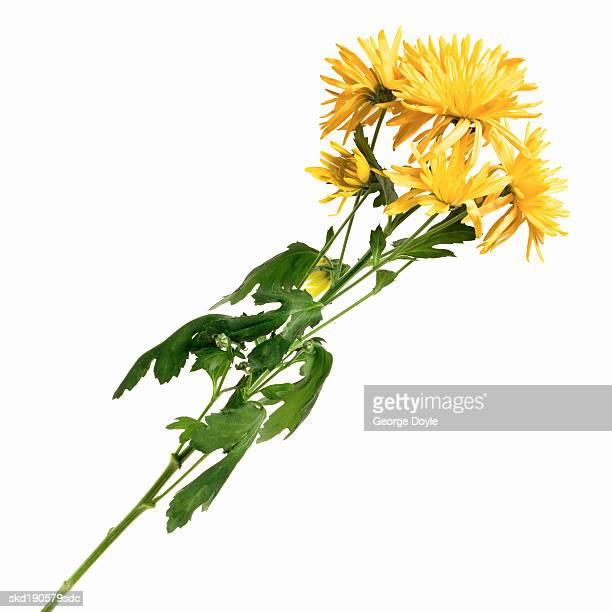 Close up of a chrysanthemum