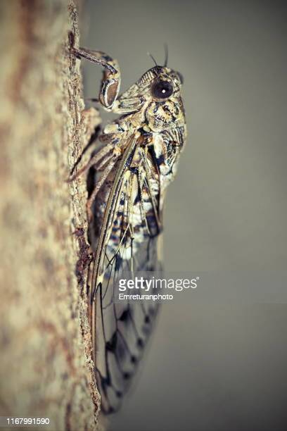 close up of a cicada on a pine tree trunk. - emreturanphoto stock pictures, royalty-free photos & images