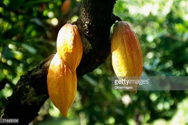 close up of a cocoa tree with ripe fruits, tobago caribbean. - theobroma fotografías e imágenes de stock