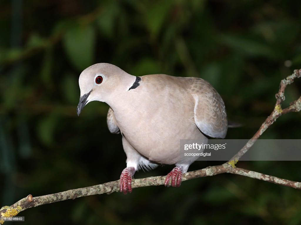 Close up of a Collard Dove : Stock Photo