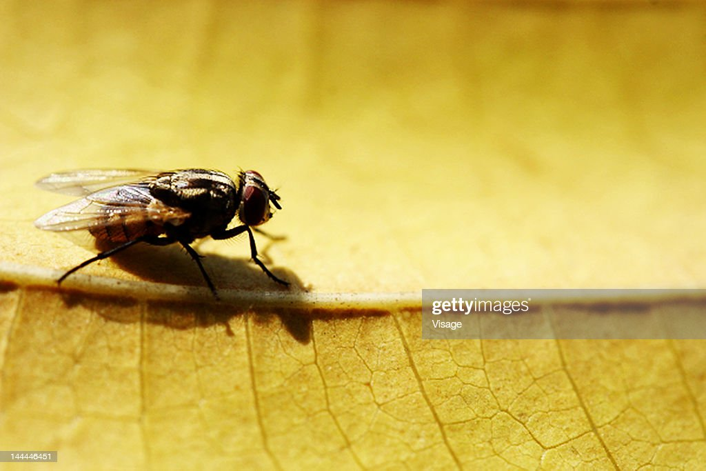 Close up of a common housefly : Stock Photo