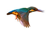 Close up of a Common Kingfisher (Alcedo Atthis)