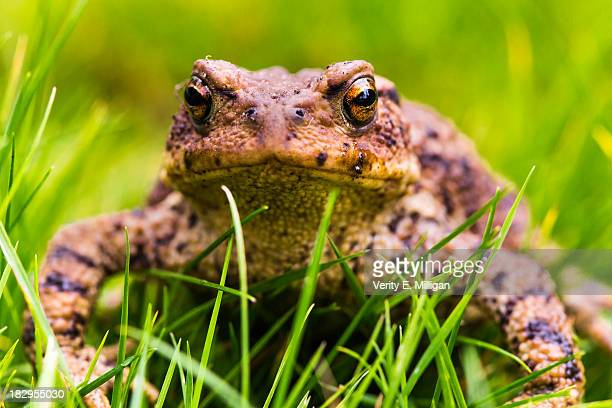 Close up of a Common Toad in Grass
