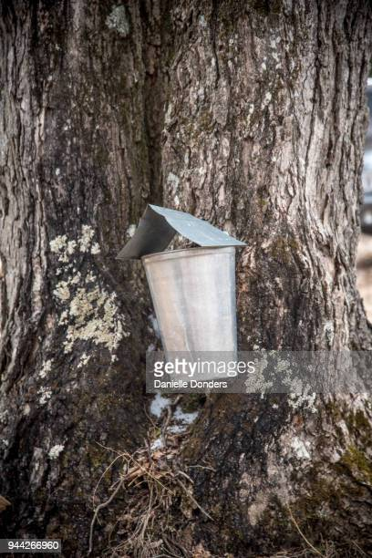 Close up of a covered sap bucket hanging from a maple tree