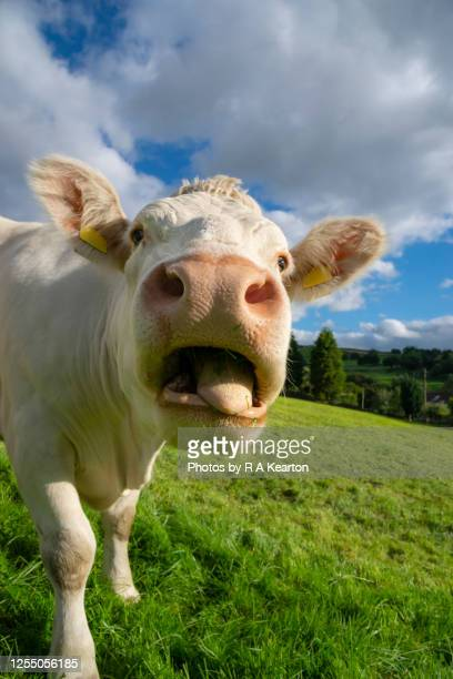 close up of a cow pulling funny face - animal stock pictures, royalty-free photos & images