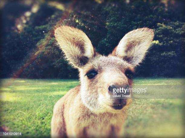 close up of a curious kangaroo - marsupial imagens e fotografias de stock