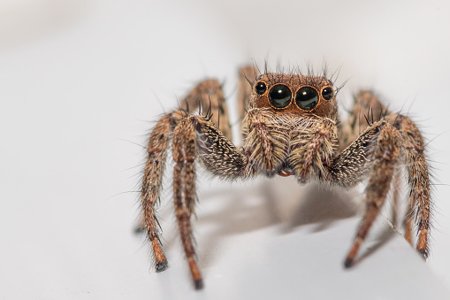 Close up of a cute little jumping spider on a white background 1008799316