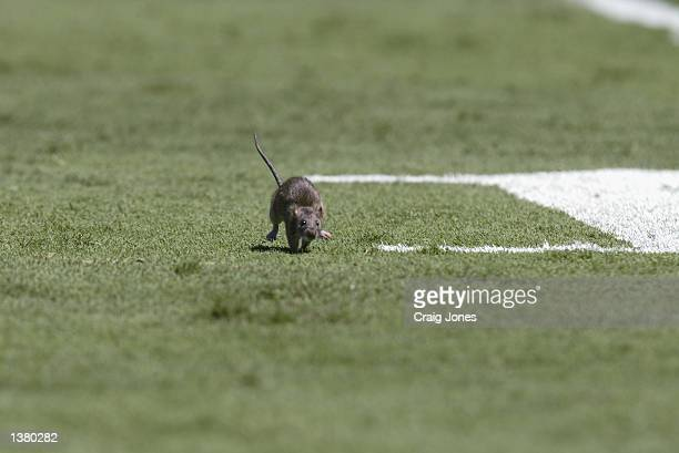 A close up of a cute mouse running for safety on the field taken during the game between the Baltimore Ravens and the Carolina Panthers on September...