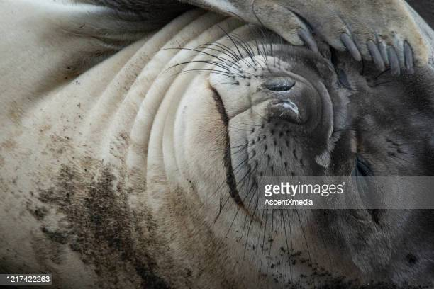 close up of a cute sea lion - aquatic mammal stock pictures, royalty-free photos & images
