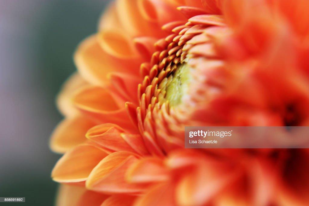 Close Up of a dahlia : Stock-Foto