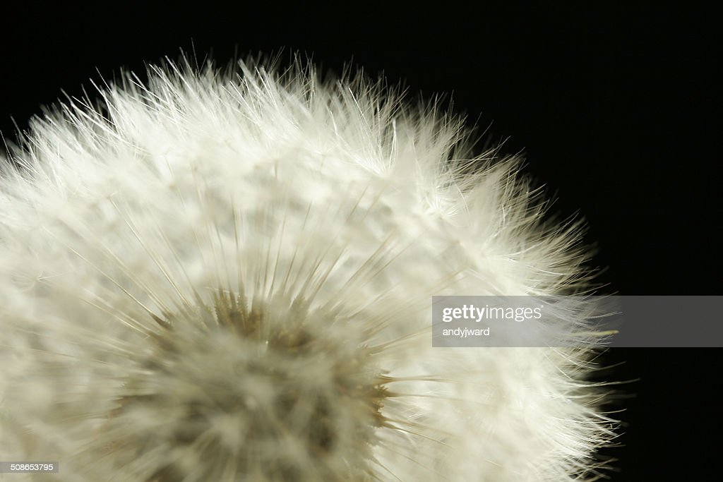 Close up of a dandelion head in the reproduction stage : Stock Photo