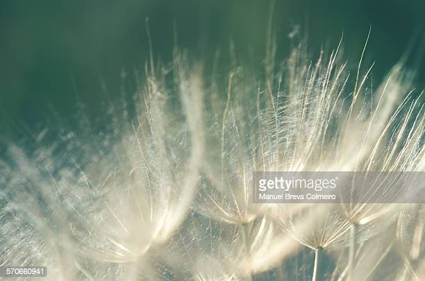 close up of a dandelion - feuille de pissenlit photos et images de collection