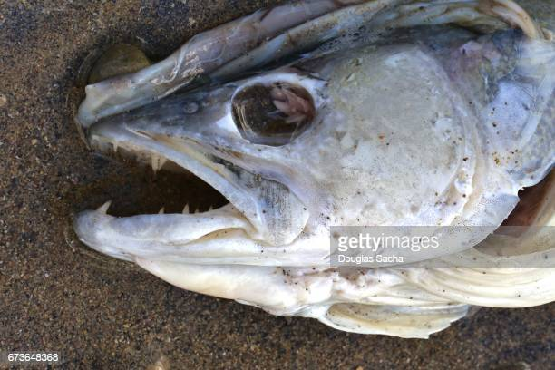 Close up of a Decaying dead fish on the beach