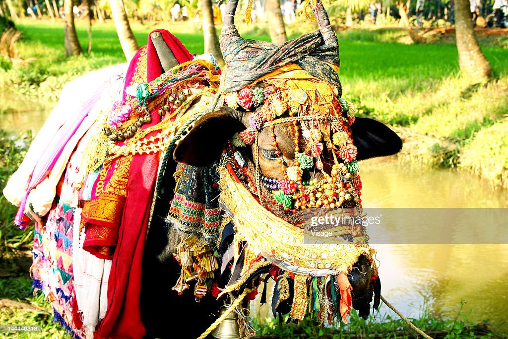 Close up of a decorated ox : Stock Photo