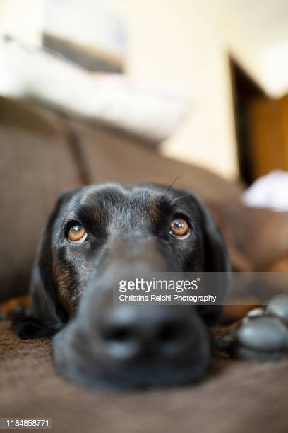 close up of a dog lying on sofa - christina braun stock-fotos und bilder