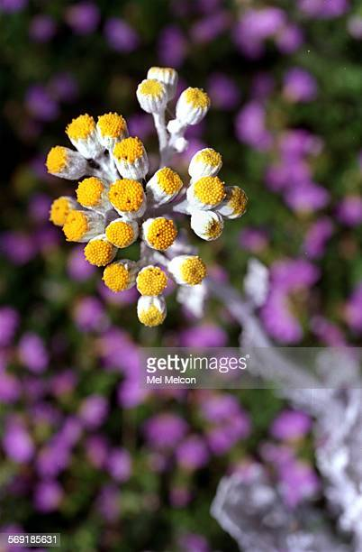 close up of a Dusty Miller blossom that is part of Sylvia Stuart–Williams drought resistant garden that won 1st place in the Camarillo Water–Wise...