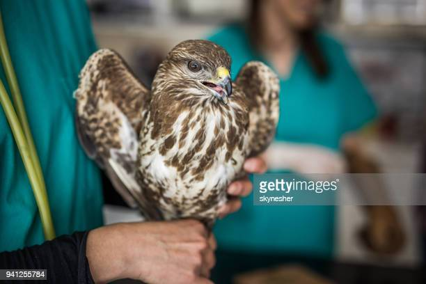 close up of a falcon in veterinarian's hand at animal hospital. - goshawk stock photos and pictures