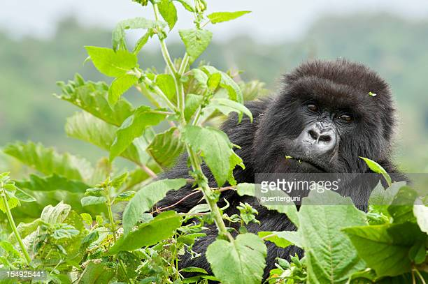 close up of a feeding mountain gorilla, wildlife shot
