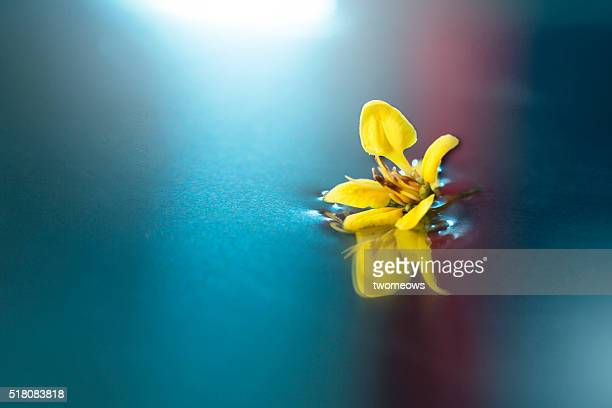 Close up of a floating yellow flower on reflective water surface.