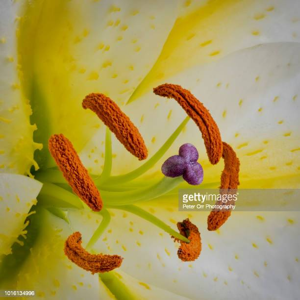 close up of a flowering lily - stamen stock pictures, royalty-free photos & images