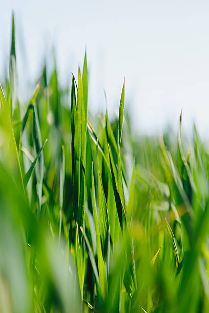 Close up  of a food crop, a field of wheat. Green stems and growing wheat stalks and ears developing. A field near Pullman, Washington, USA