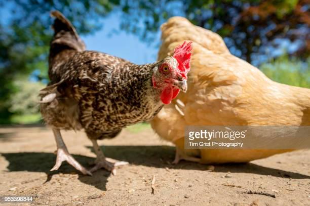 Close up of a Free Range Chicken