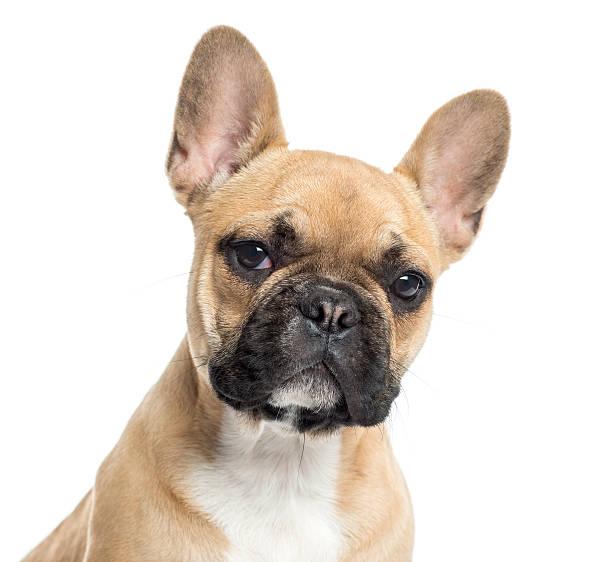 Close Up Of A French Bulldog Puppy Facing Wall Art
