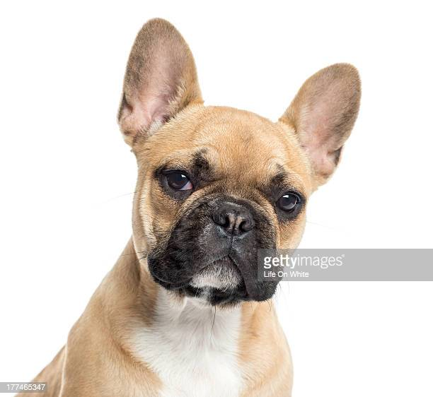 Close up of a French Bulldog puppy facing