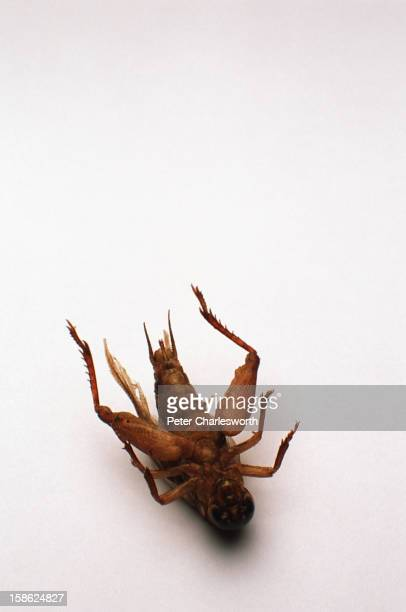 A close up of a fried cricket or gingreed as it is known in Thai Cooked insects are very popular in Thailand
