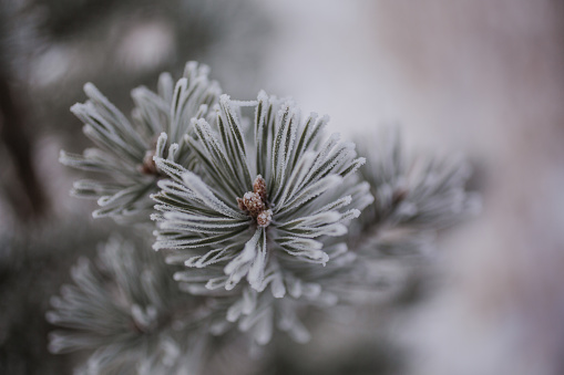 Close up of a frosty Pine branch - gettyimageskorea