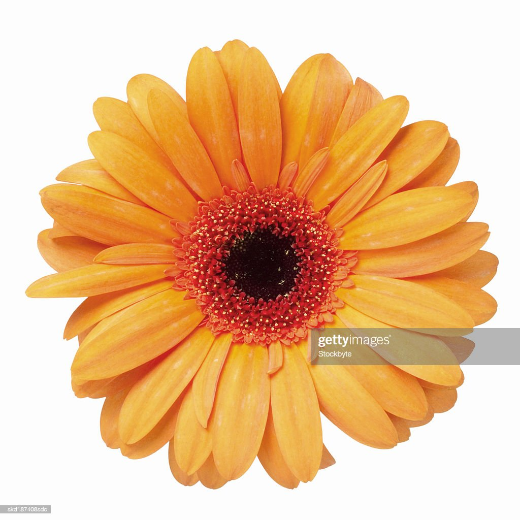 Close up of a gerbera : ストックフォト