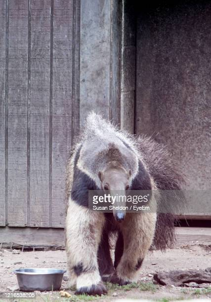 close up of a giant anteater at a zoo - giant anteater stock pictures, royalty-free photos & images