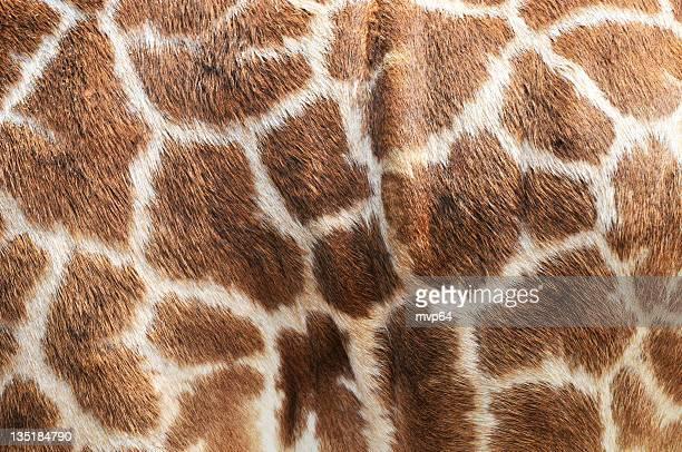 un gros plan d'un imprimé girafe - girafe photos et images de collection