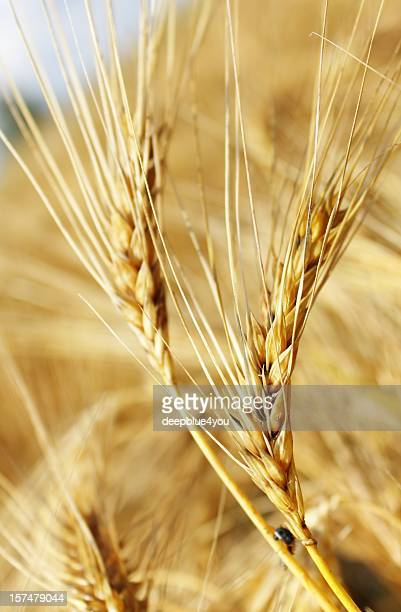 close up of a grain, background