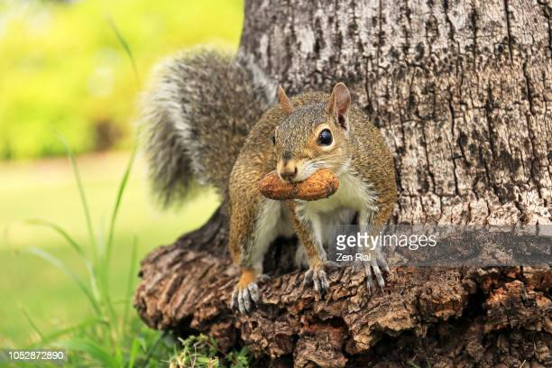 close up of a gray squirrel on a palm tree trunk with peanut on it's mouth - eastern gray squirrel stock photos and pictures