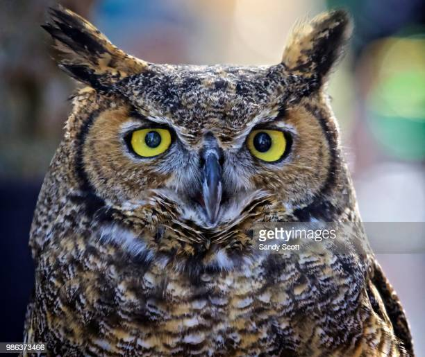 close up of a great-horned owl. - great horned owl stock pictures, royalty-free photos & images