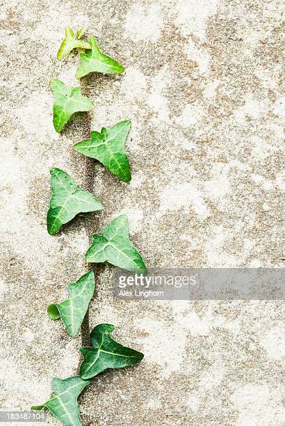 Close up of a green ivy plant climbing a grey wall