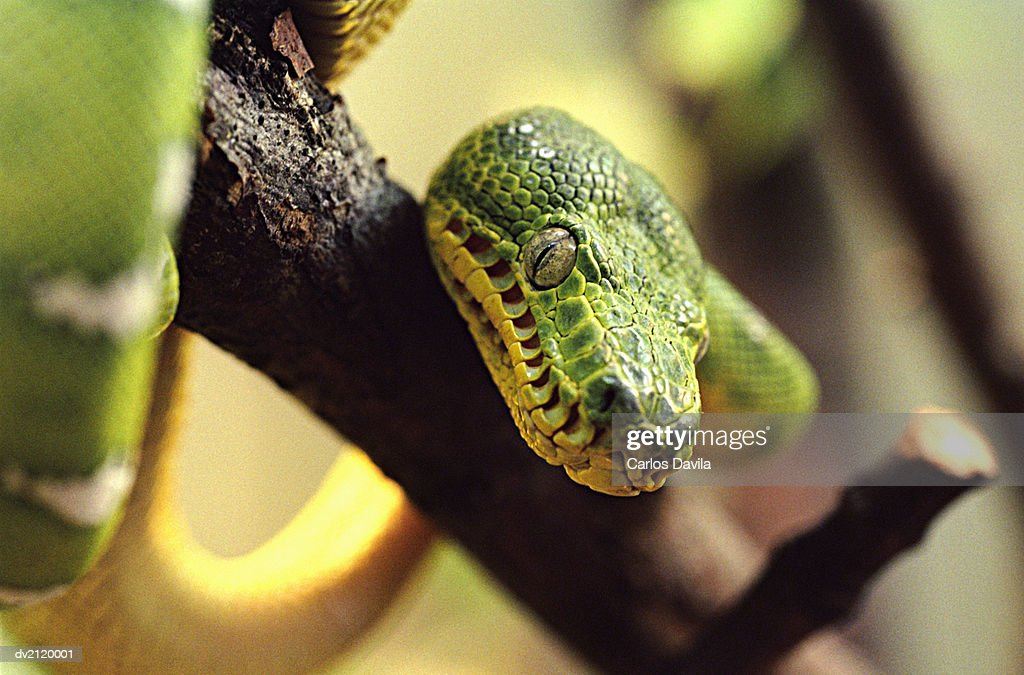 Close up of a Green Snake on a Branch : Stock Photo