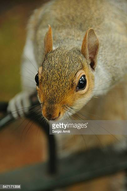 Close up of a grey squirrel looking at the camera and holding on to a railing