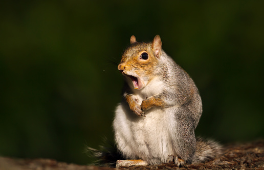 Close up of a grey squirrel yawning 1126205831