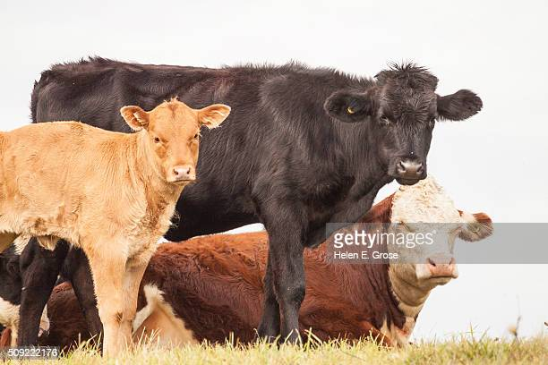 Close up of a group of cows (cattle)