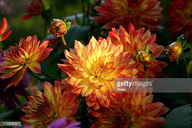 dalia - chrysanthemum fotografías e imágenes de stock