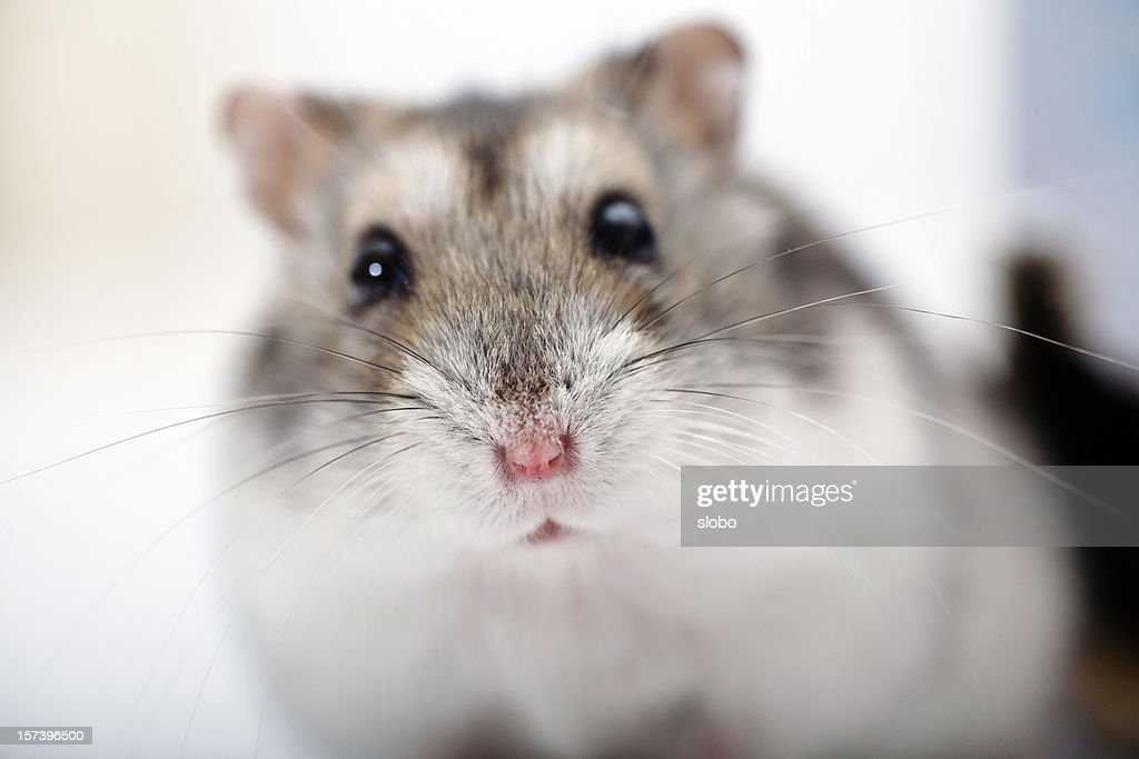 Close up of a hamster against a blurry background : Stock Photo