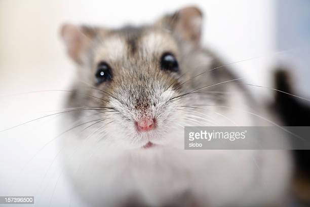 Close up of a hamster against a blurry background