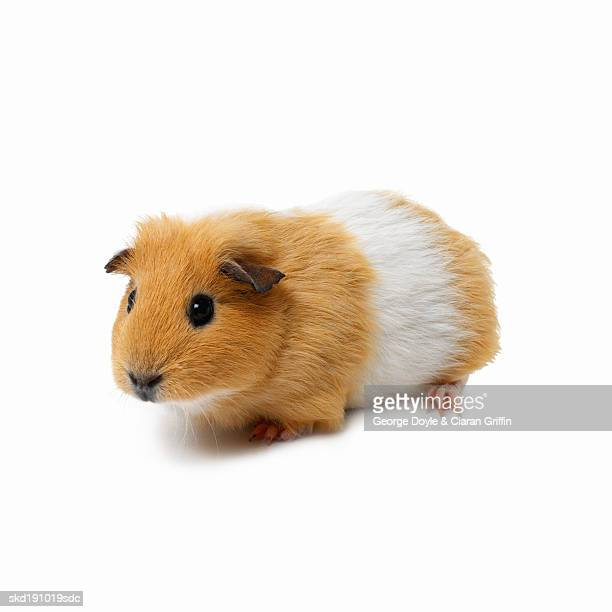 Close up of a hamster