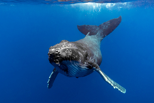 Close up of a Humpback Whale Calf in Blue Water 1164479927