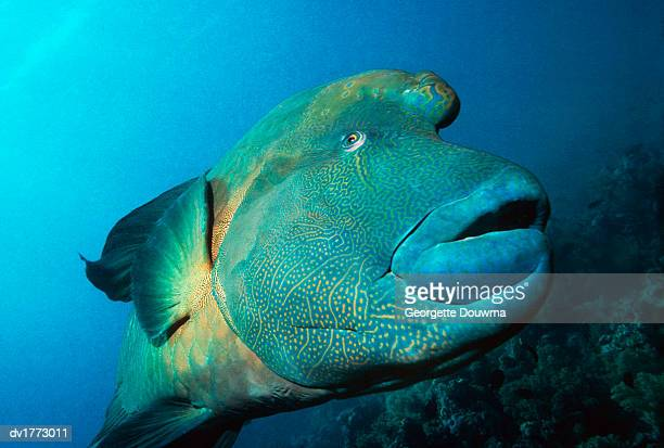 close up of a humphead wrasse, red sea, egypt - メガネモチノウオ ストックフォトと画像