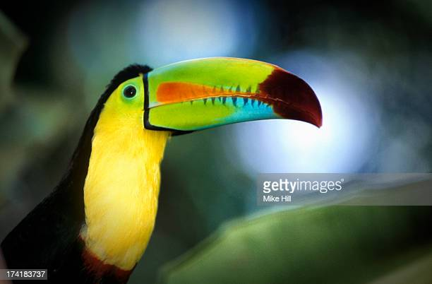 Close up of a keel billed toucan